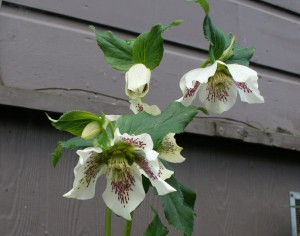 White Lady Hellebore