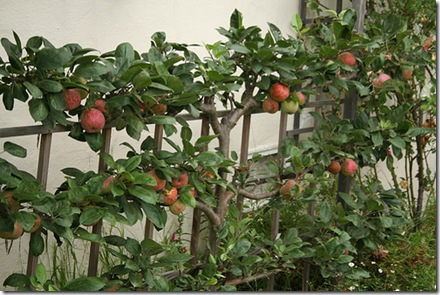 Espaliered Apples photo by pipiwildhead on Flickr