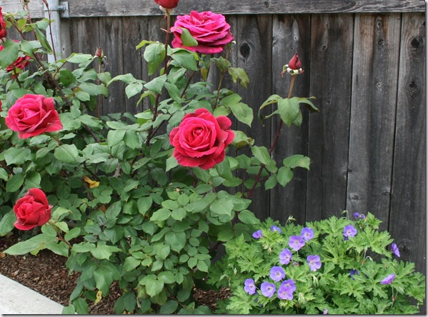 Post image for How to Treat Rose and Flower Pests Naturally: Prevention