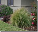 Post image for Ornamental Grasses: How to Prune Miscanthus, Stipa, and More