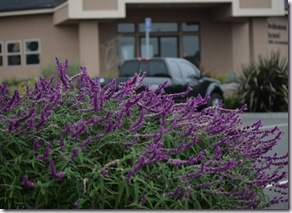 Post image for How to Deadhead Mexican Bush Sage or Salvia leucantha (Video Tutorial)
