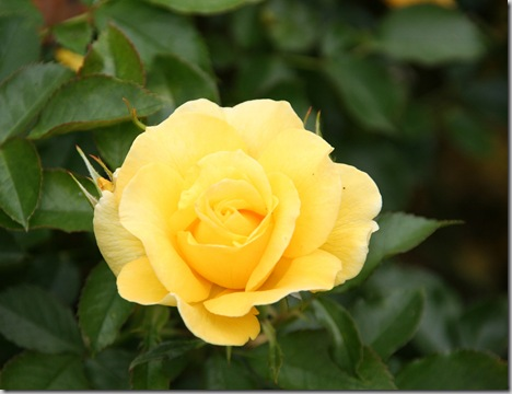 Post image for How to Treat Rose and Flower Pests Naturally: Organic Control of Black Spot/ Powdery Mildew, Aphids, and Caterpillars