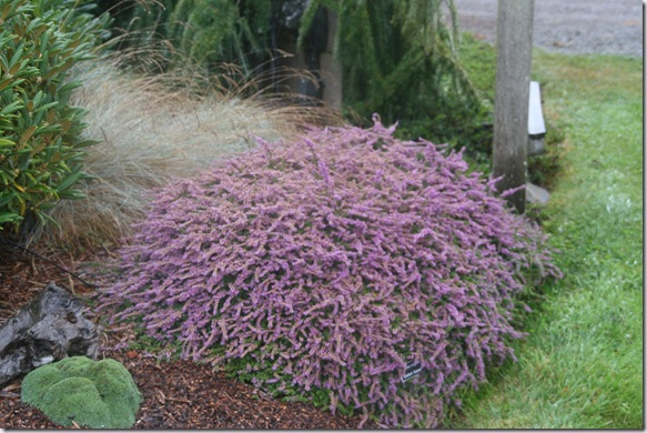 Post image for Fall-Blooming Heathers for Autumn Color