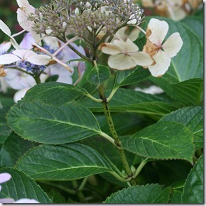 Hydrangea look for swollen buds at leaf base