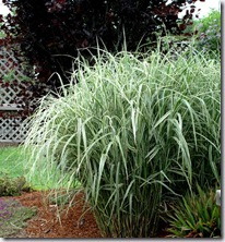 Post image for How to Summer-Prune a Floppy Miscanthus Grass (Video Tutorial)