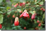 Abutilon or Flowering Maple