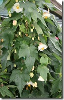 White Abutilon or Flowering Maple