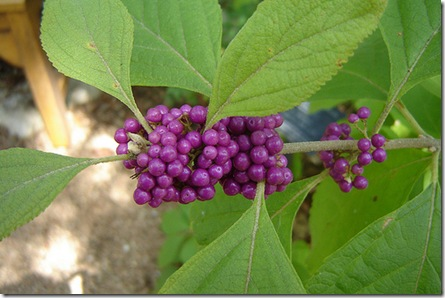 Callicarpa 'Profusion' photo by Andreana on Flickr via CC Attribution License