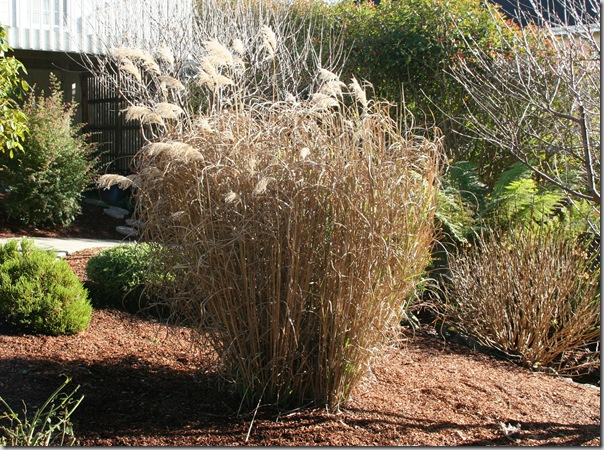 Dormant Miscanthus grass before cutting back