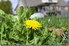 Post image for How to Kill Dandelions in Lawn Organically
