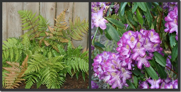 Autumn Fern with 'Madame Cochet' Rhododendron