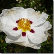 Cistus photo by dichohecho on Flickr