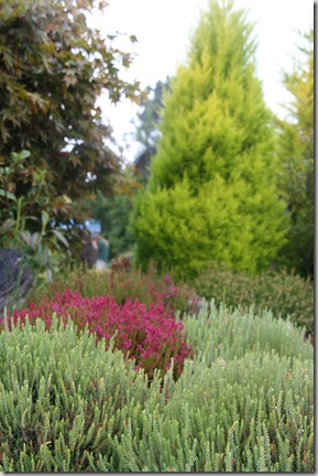 Post image for Callunas, Ericas, Daboecias, Oh My! Demystifying the Different Kinds of Heather