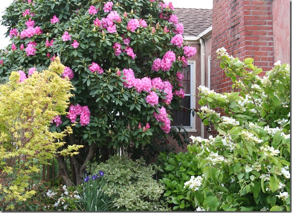 Post image for Bulletproof Rhododendrons: Rhodies for Sea Coast Wind and Other Tough Conditions