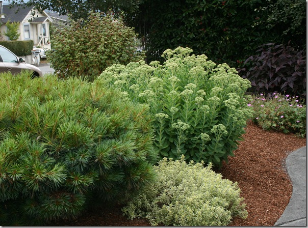 White Pine, Variegated Oregano, Sedum Autumn Joy
