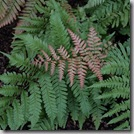 Post image for Ferns for Every Garden