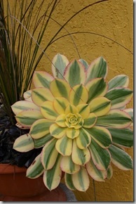 02-27 Aeonium 'Sunburst'_JFR