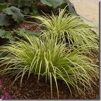 Acorus gramineus 'Ogon' - Golden Variegated Sweet Flag Grass