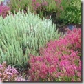 Calluna 'Velvet Fascination' and 'Dark Beauty'