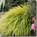 Japanese Forest Grass or hakonechloa macra aureola