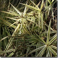 carex sparkler sedge