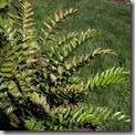holly fern at Longshore garden (2)