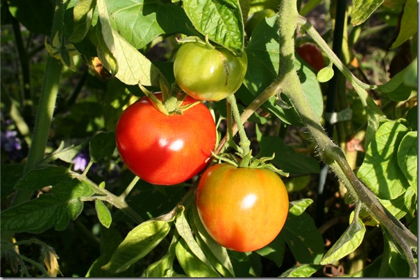 Post image for Tomatoes! In Humboldt County! Grafted Tomatoes Beat the Competition