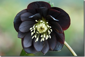 Helleborus Onyx Odyssey photo courtesy Terra Nova Nursery