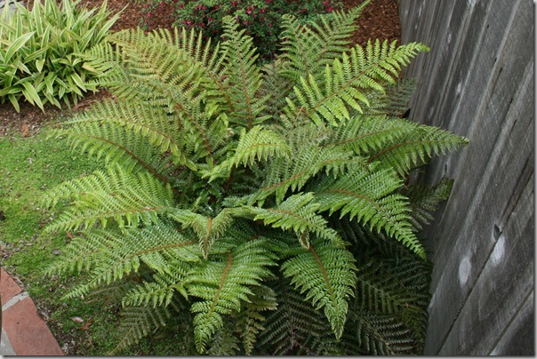 happy tassel fern