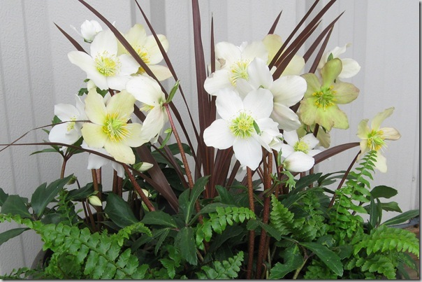 Hellebore Jacob from Skagit