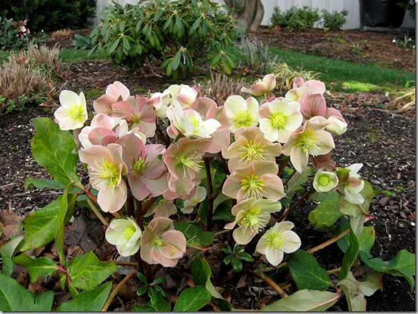 Helleborus Cinnamon Snow from Skagit