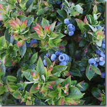 Post image for Blueberries: Which Ones Taste Best?