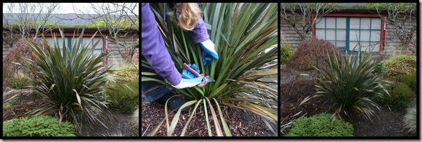 how to prune phormium or flax