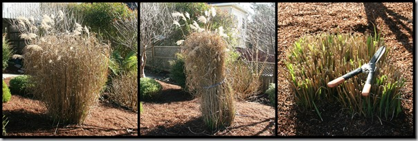 miscanthus pruning how-to